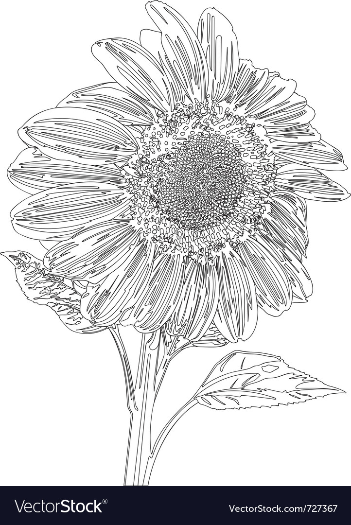 Sunflower line drawing vector | Price: 1 Credit (USD $1)