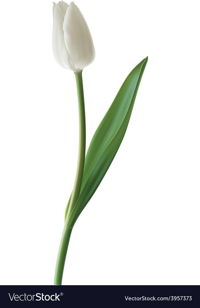 Tulip white vector | Price: 1 Credit (USD $1)