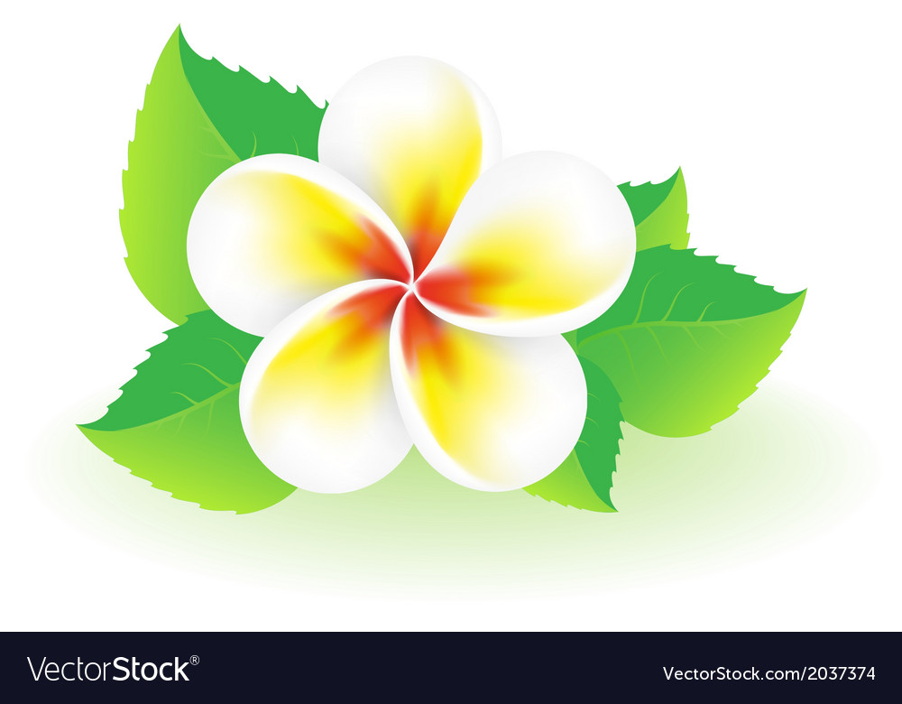 Frangipani tropical flower vector | Price: 1 Credit (USD $1)