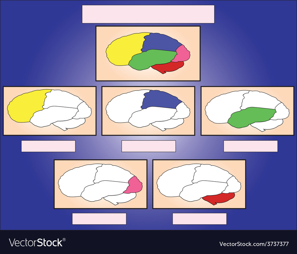 The brain sections vector | Price: 1 Credit (USD $1)