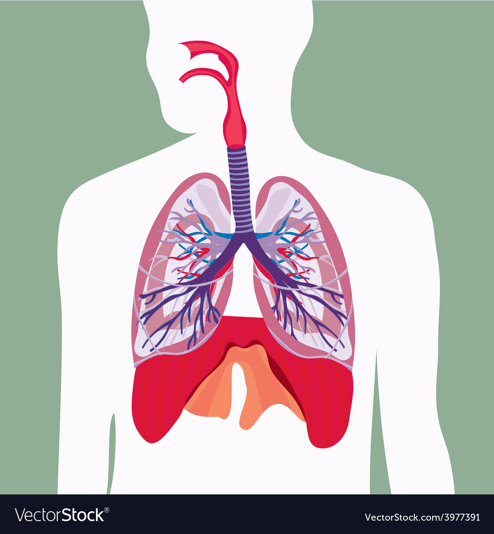 Respiratory system lungs human body vector | Price: 1 Credit (USD $1)