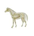 Horse skeleton vector
