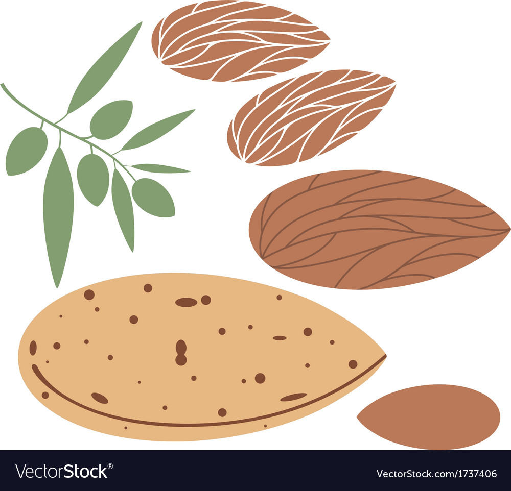 Almond vector | Price: 1 Credit (USD $1)