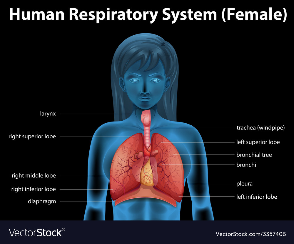 Human respiratory system vector | Price: 3 Credit (USD $3)