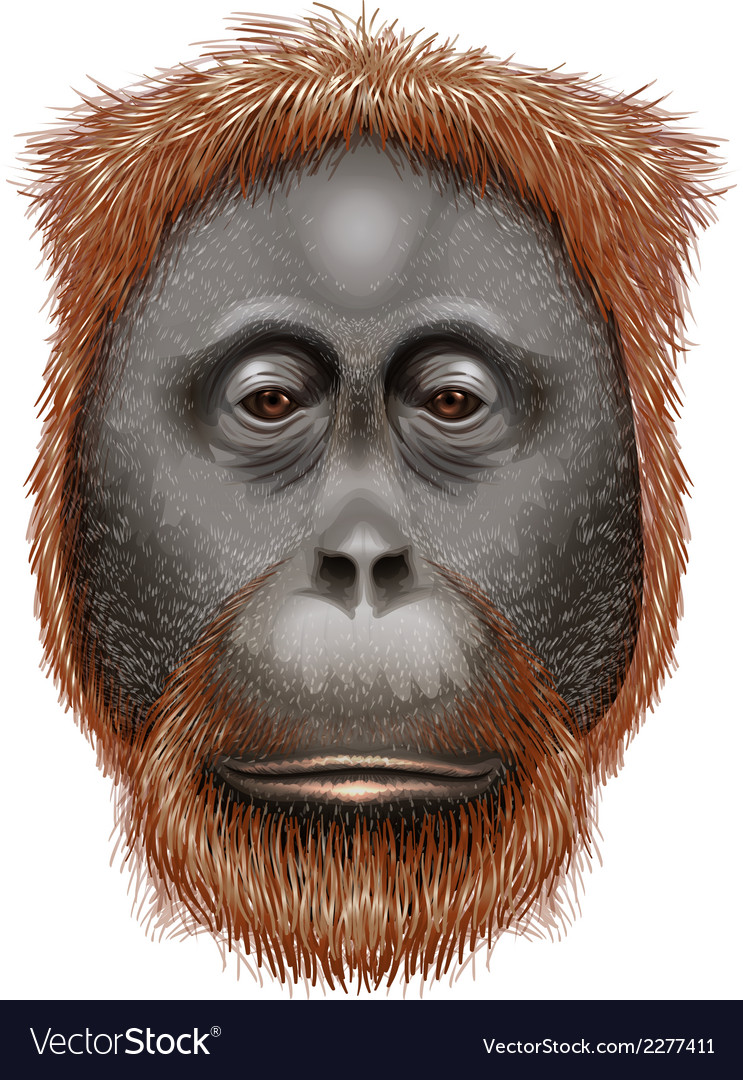 An orangutan vector | Price: 3 Credit (USD $3)