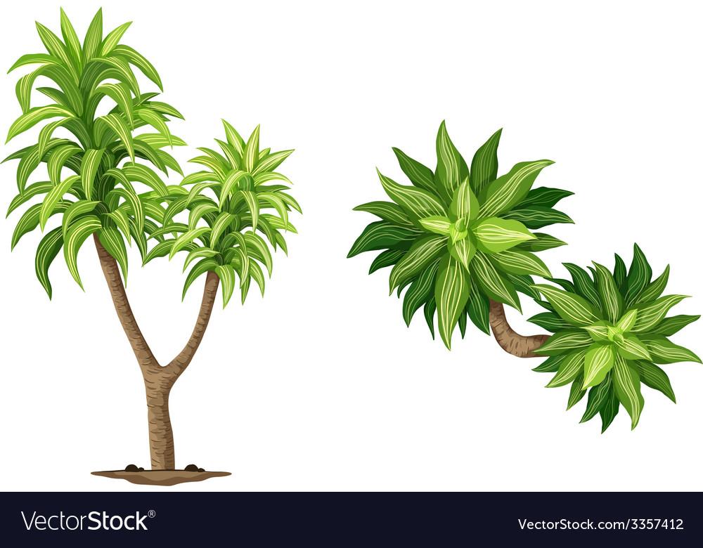 Queen of dracaenas plant vector | Price: 1 Credit (USD $1)