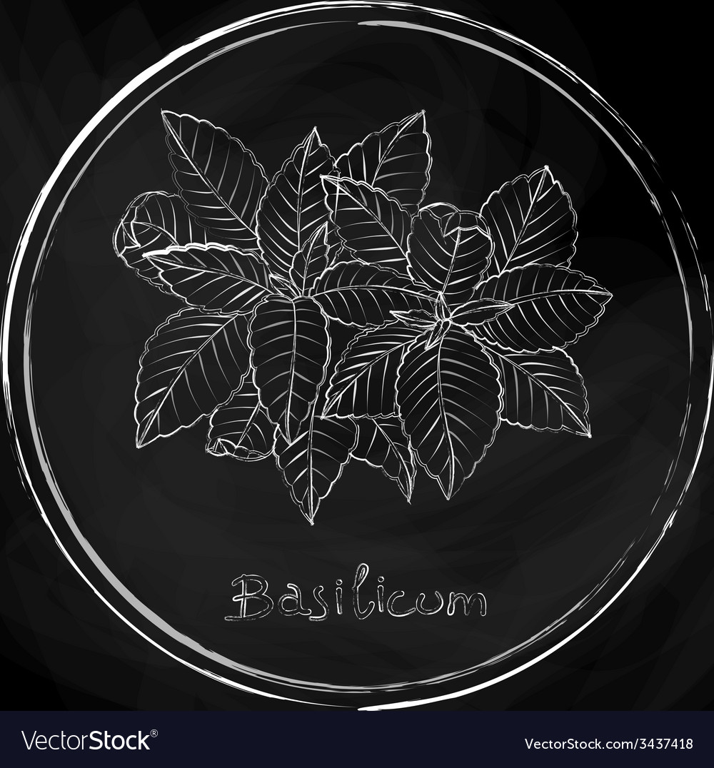 Basil vector | Price: 1 Credit (USD $1)