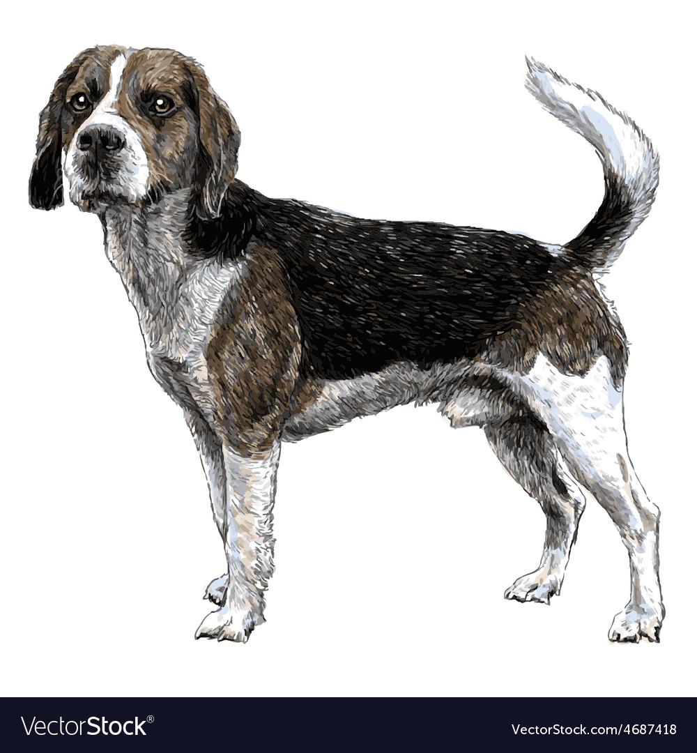 Beagle 03 vector | Price: 3 Credit (USD $3)