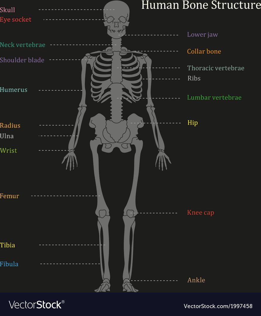 Human bone structure diagram vector | Price: 1 Credit (USD $1)