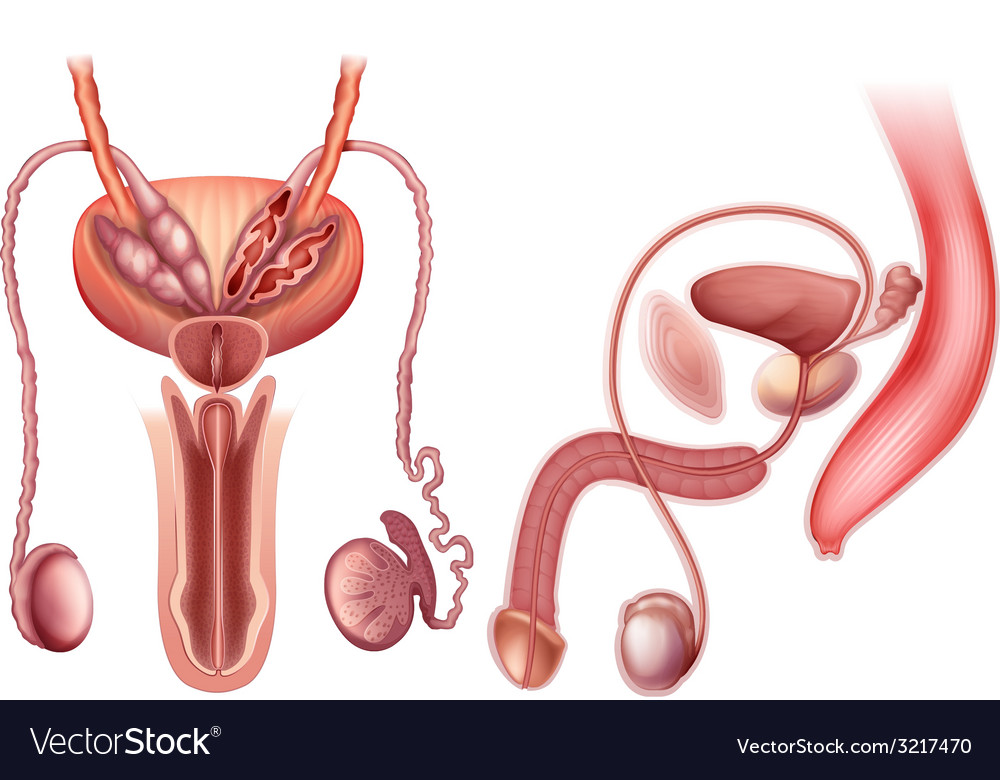 A male reproductive organ vector | Price: 1 Credit (USD $1)