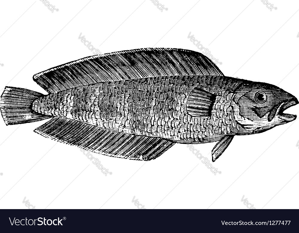 Marine fish vintage engraving vector | Price: 1 Credit (USD $1)