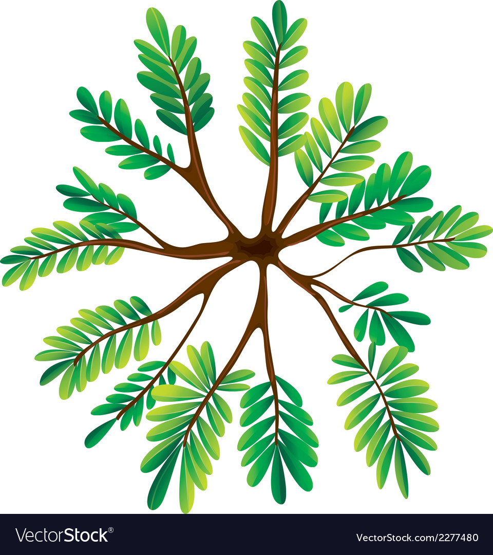 A topview of a fern plant vector | Price: 1 Credit (USD $1)