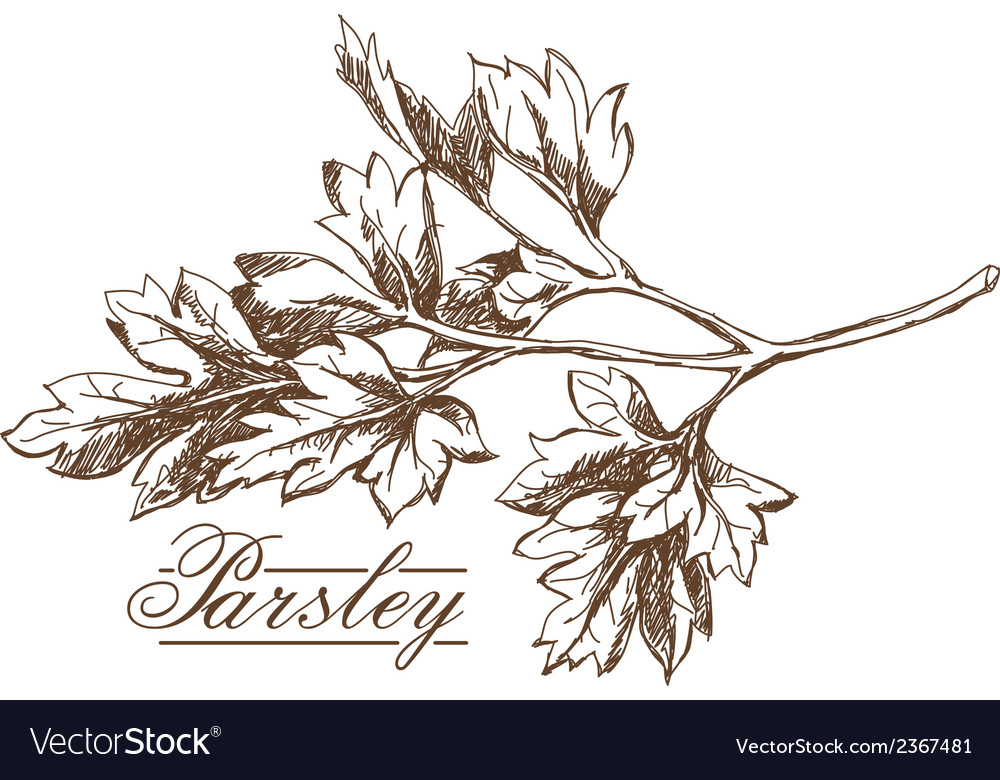 Parsley hand drawing vector | Price: 1 Credit (USD $1)