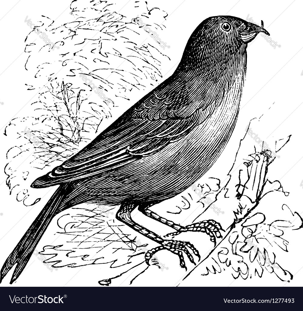 Common crossbill vintage engraving vector | Price: 1 Credit (USD $1)