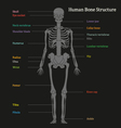 Human bone structure diagram vector