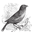 Common crossbill vintage engraving vector