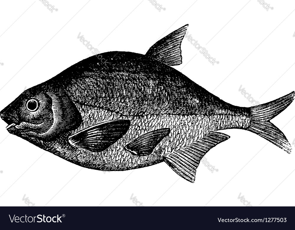 Freshwater fish engraving vector | Price: 1 Credit (USD $1)