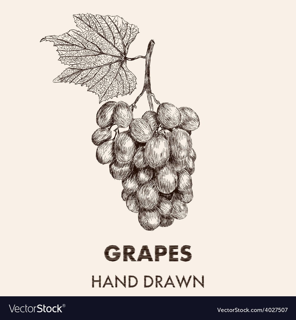 Sketch grapes cluster with a leaf hand drawn vector | Price: 1 Credit (USD $1)