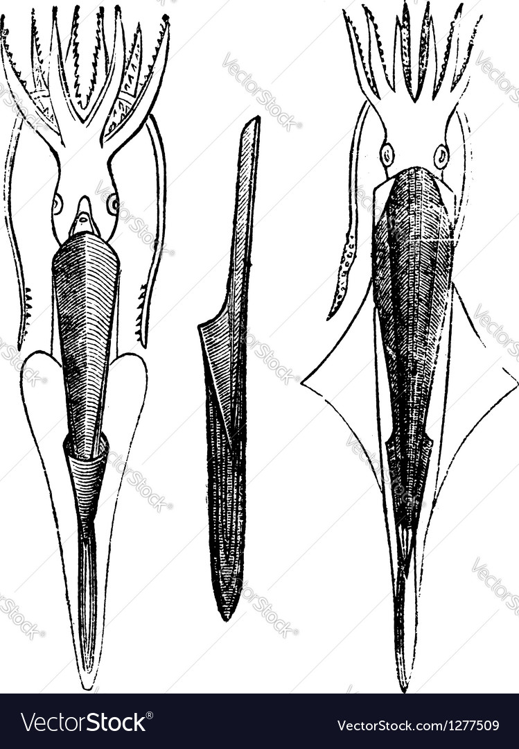 Belemnites vintage engraving vector | Price: 1 Credit (USD $1)