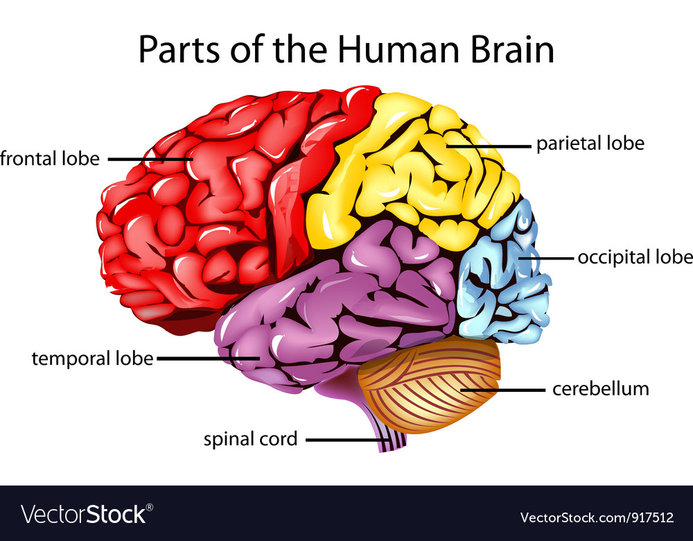 Human brain vector | Price: 3 Credit (USD $3)