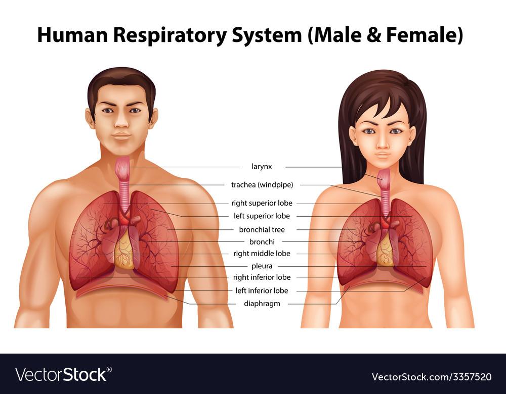 Human respiratory system vector | Price: 3 Credit (USD $3)