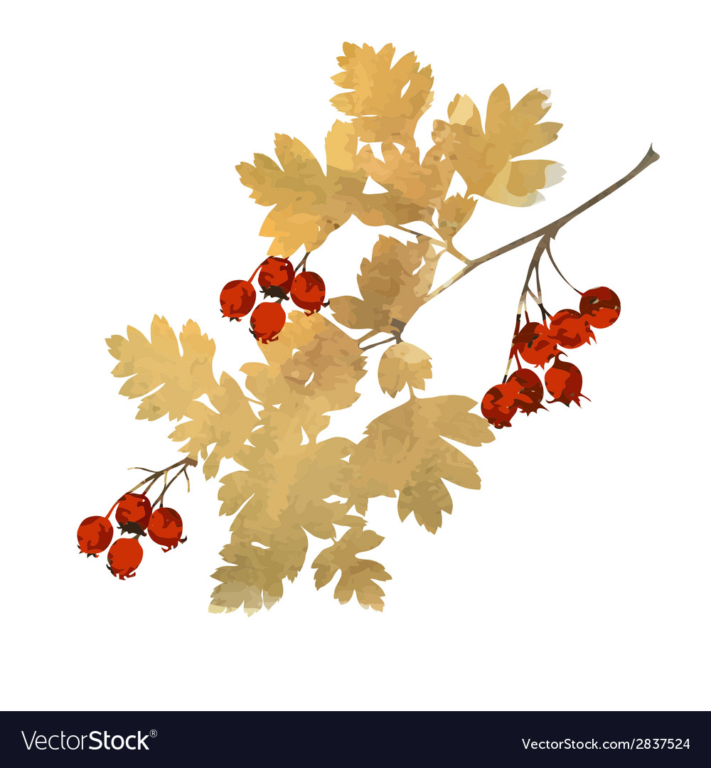 Branch of hawthorn vector   Price: 1 Credit (USD $1)