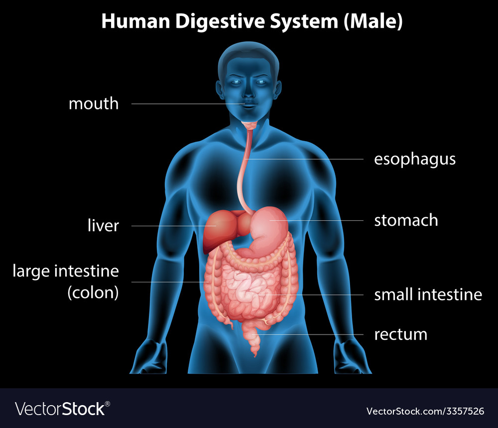 Human digestive system vector | Price: 3 Credit (USD $3)