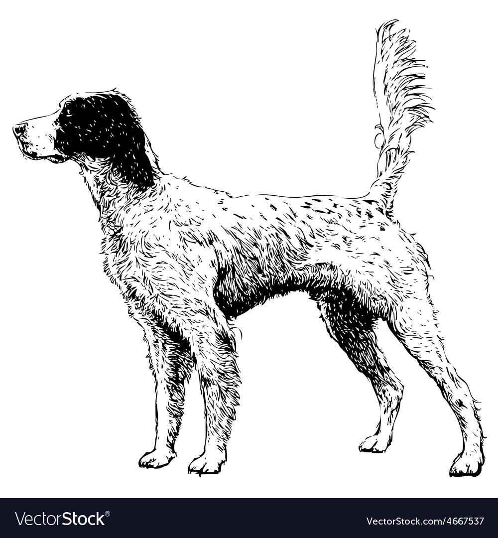 English setter 10 vector | Price: 3 Credit (USD $3)