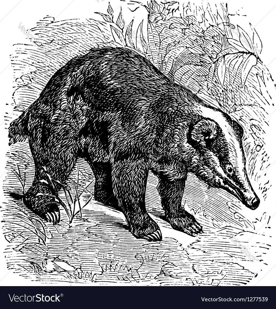 Hog badger vintage engraving vector | Price: 1 Credit (USD $1)