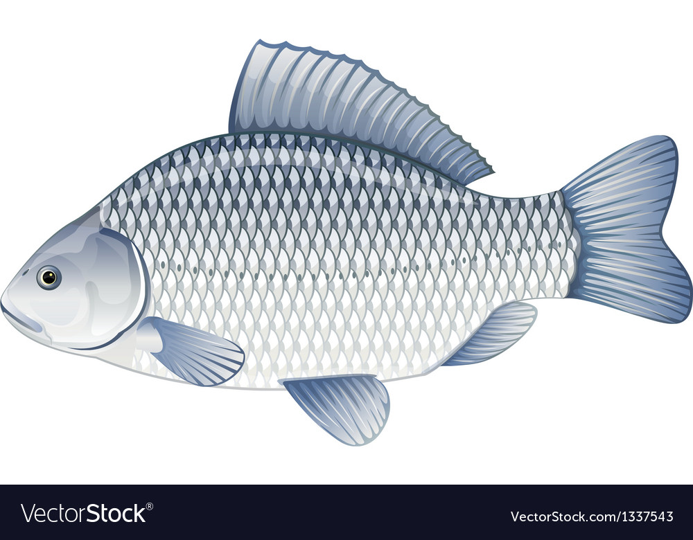 Crucian carp vector | Price: 1 Credit (USD $1)
