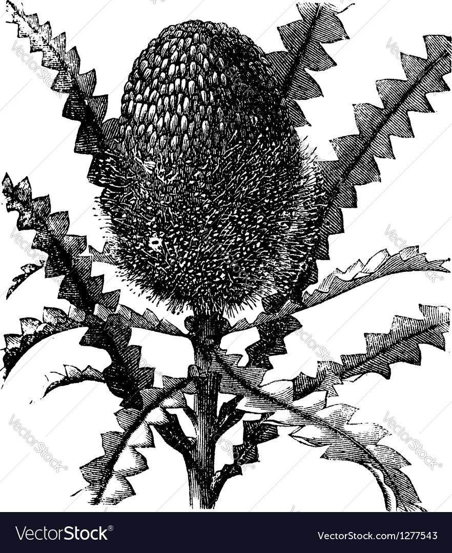 Showy banksia vintage engraving vector | Price: 1 Credit (USD $1)