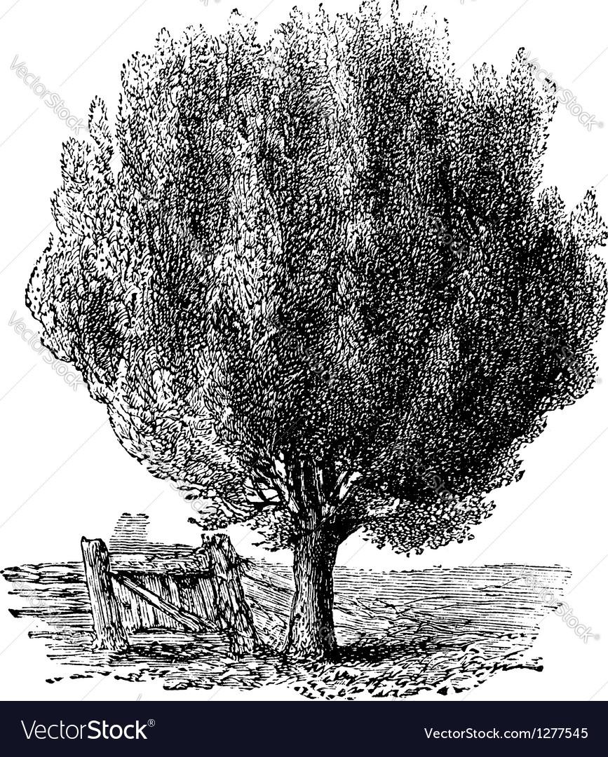 Boxwood tree vintage engraving vector | Price: 1 Credit (USD $1)