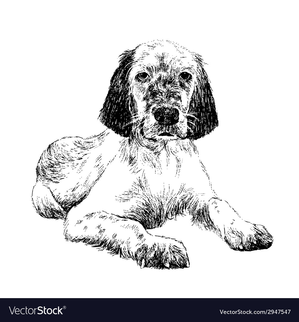 English setter1 vector | Price: 1 Credit (USD $1)