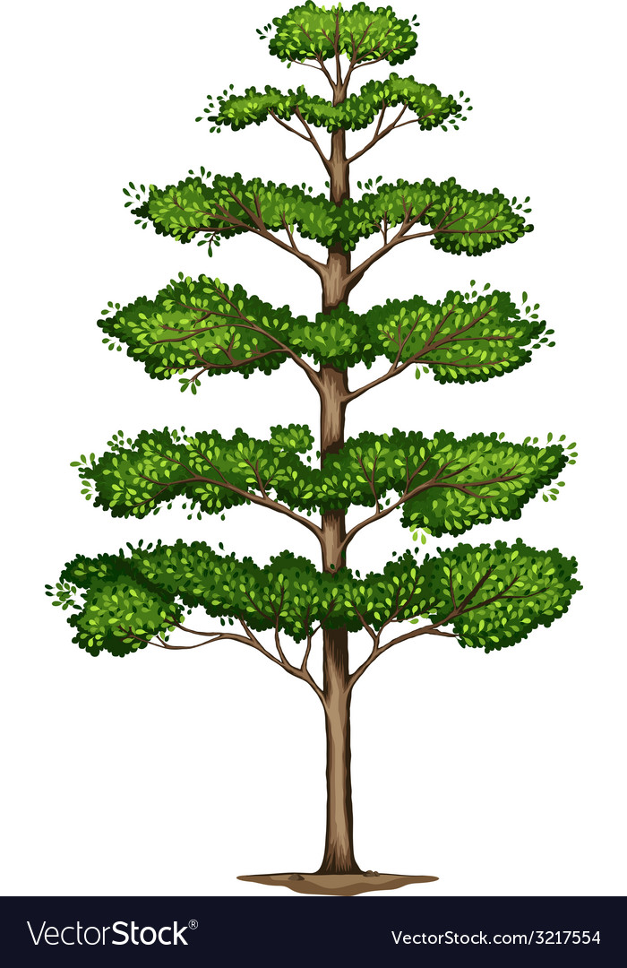 A terminalia ivorensis tree vector | Price: 1 Credit (USD $1)