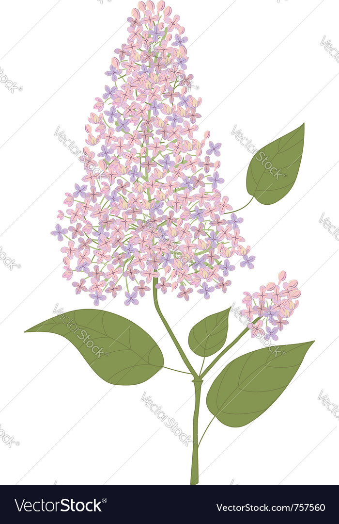 Branch of lilac vector | Price: 1 Credit (USD $1)