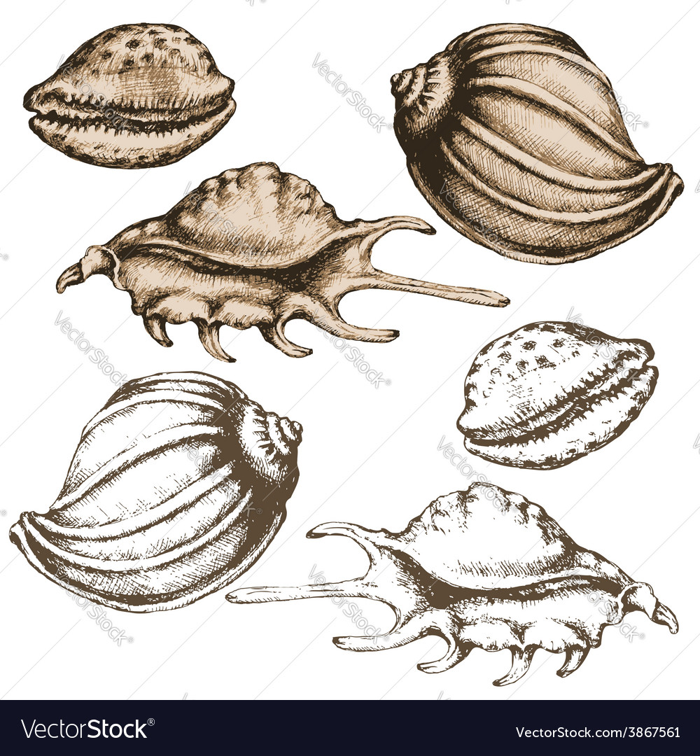 Shell sketch vector | Price: 1 Credit (USD $1)