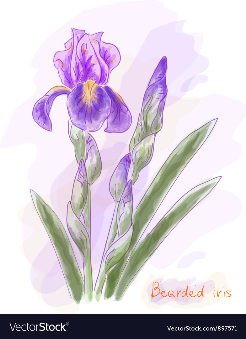 Bearded iris watercolor imitation vector | Price: 1 Credit (USD $1)