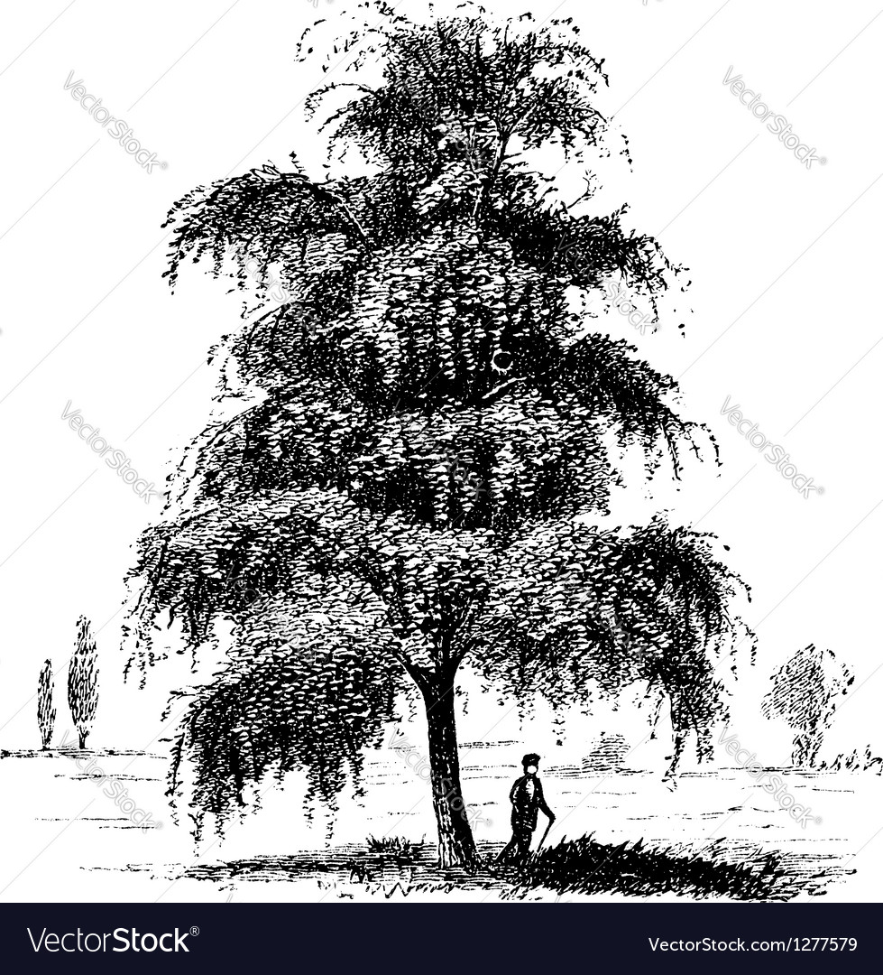 Birch tree vintage engraving vector   Price: 1 Credit (USD $1)