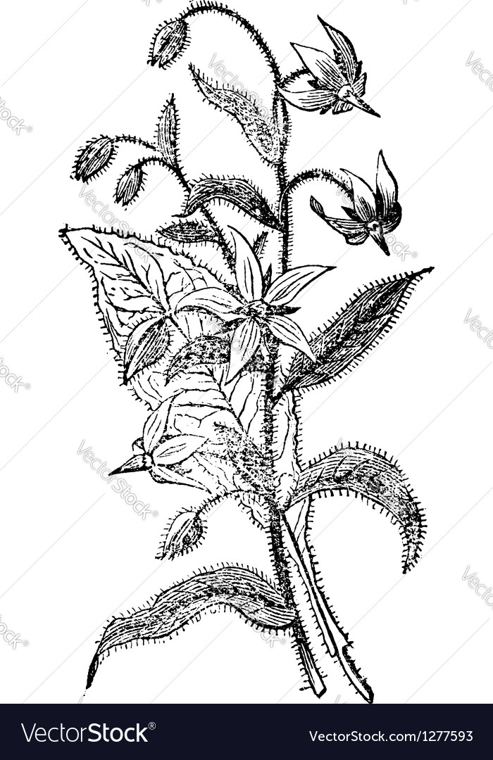 Borage vintage engraving vector | Price: 1 Credit (USD $1)
