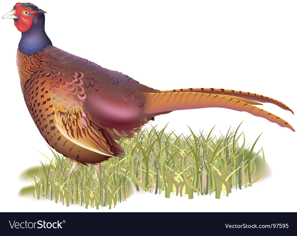 Forest pheasant vector | Price: 3 Credit (USD $3)