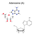 Chemical formula and model of adenosine vector