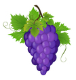 Bunch of a grapes vector