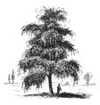 Birch tree vintage engraving vector