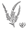 Common heather vintage engraving vector
