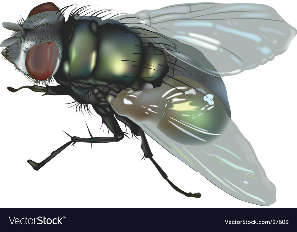 Blow fly vector | Price: 3 Credit (USD $3)