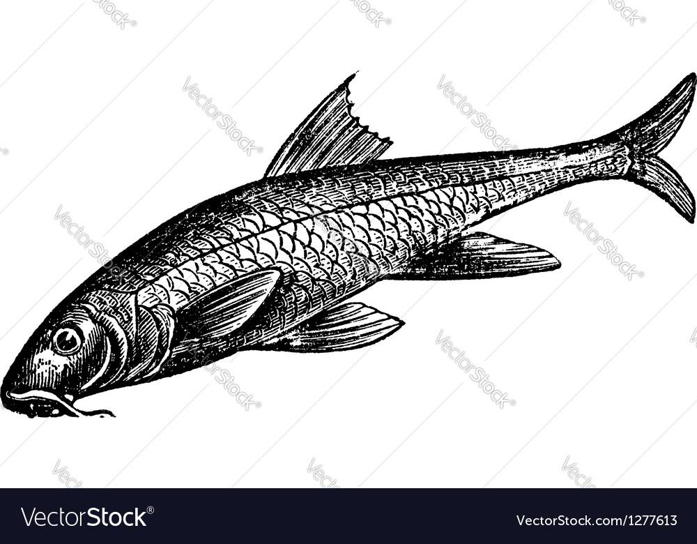 Common barbel vintage engraving vector | Price: 1 Credit (USD $1)