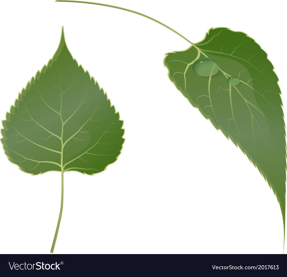 Leaf vector | Price: 1 Credit (USD $1)