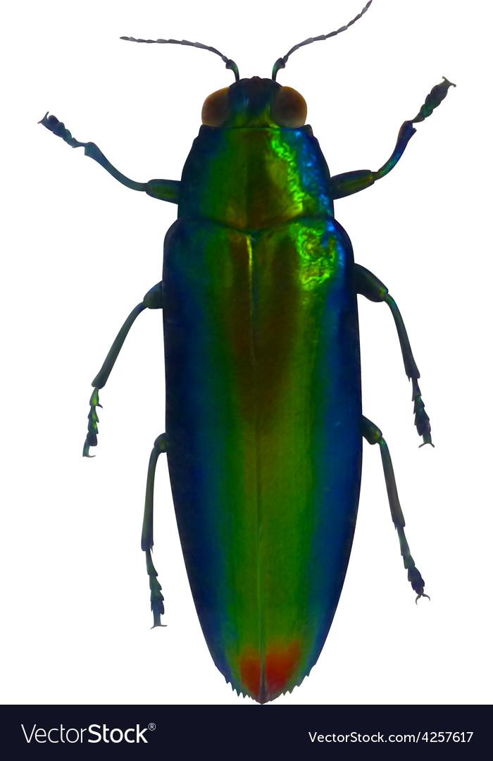 Jewel beetle vector | Price: 1 Credit (USD $1)