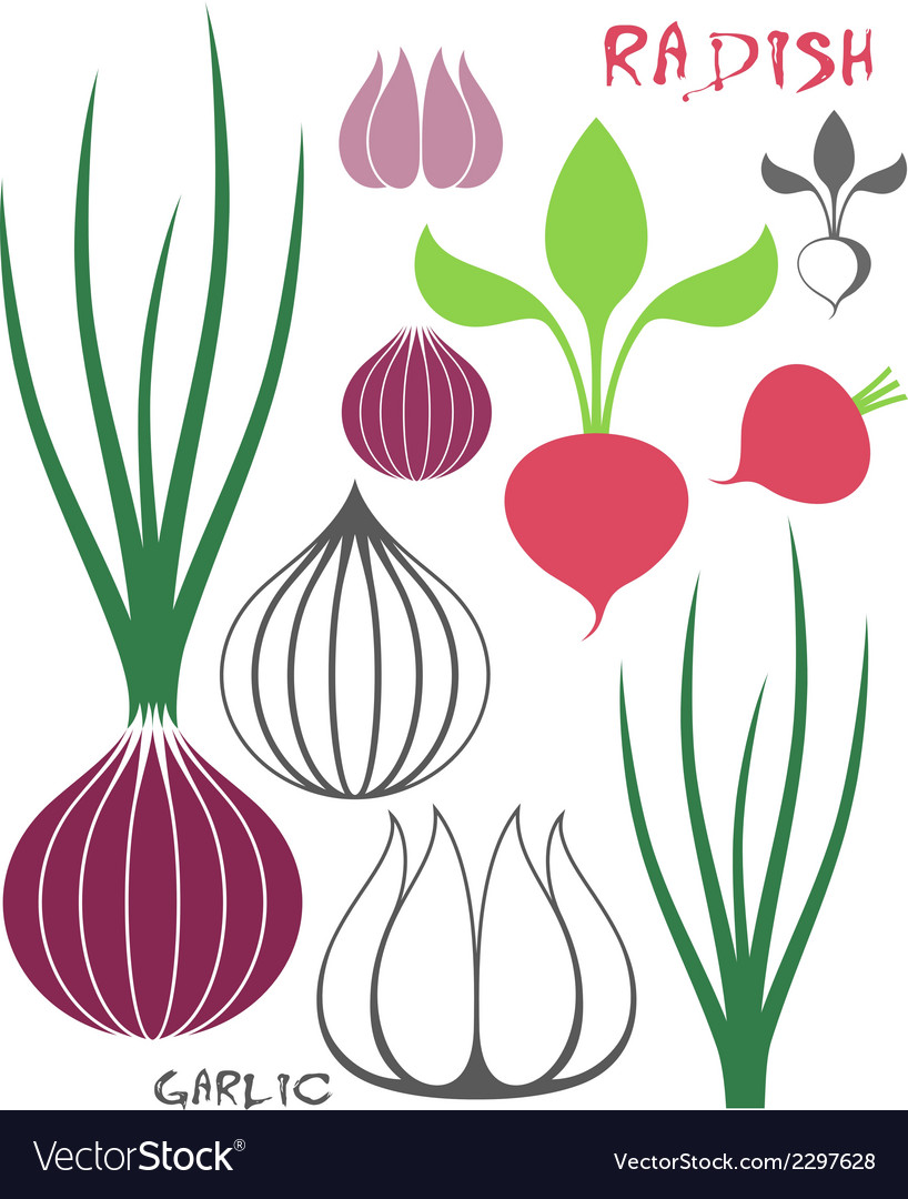 Vegetable garlic onion radish vector | Price: 1 Credit (USD $1)