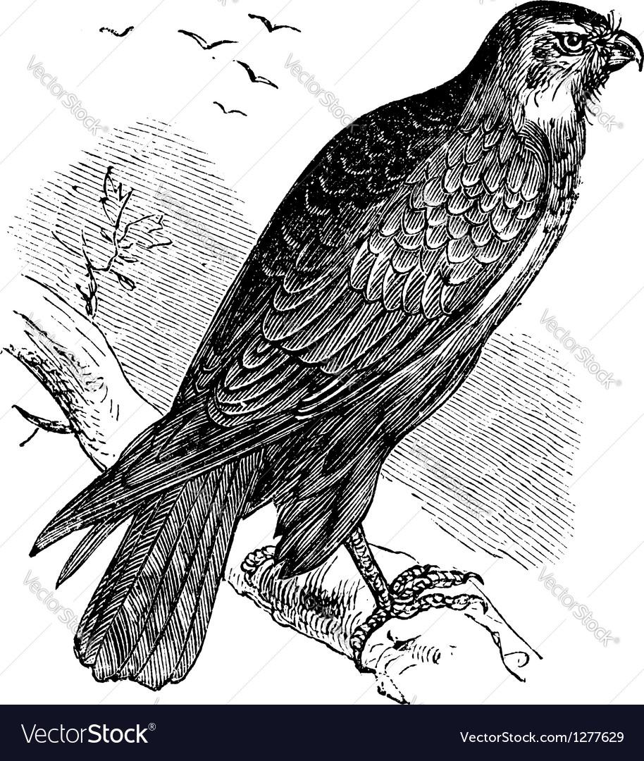Common buzzard raptor engraving vector   Price: 1 Credit (USD $1)